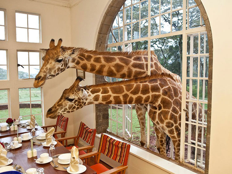 Le giraffe dell'hotel Giraffe Manor in Kenia