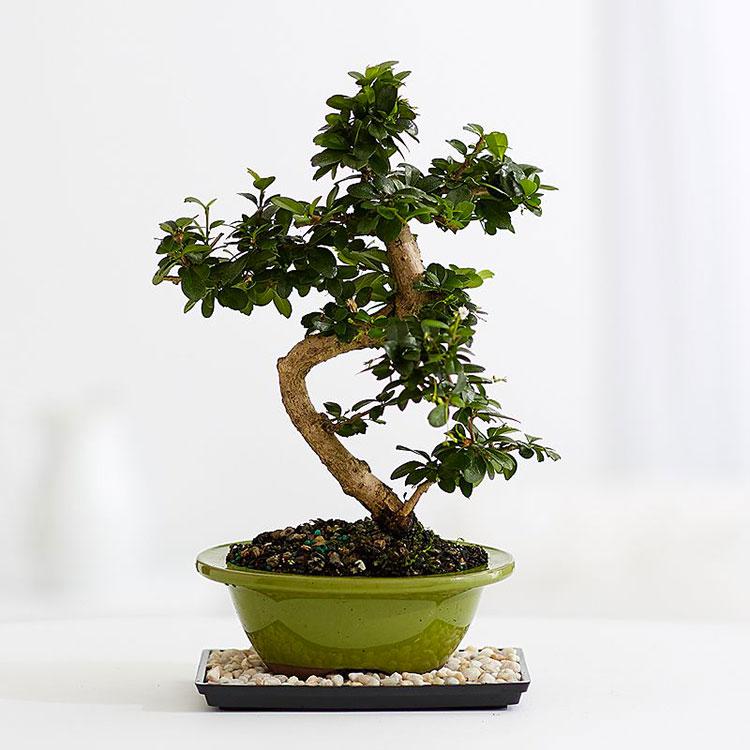 Come utilizzare i bonsai nell'arredamento zen