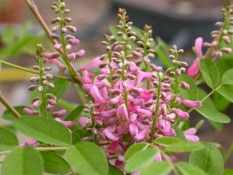 Pianta indigofera tinctoria dalla quale si ricava il colore indaco