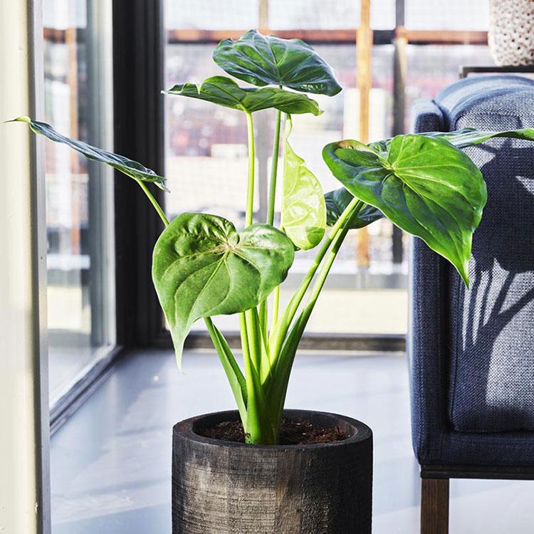 Pianta Alocasia Cucullata per arredare il soggiorno