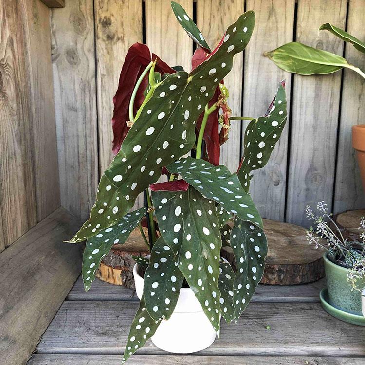 Pianta Begonia maculata per arredare il soggiorno