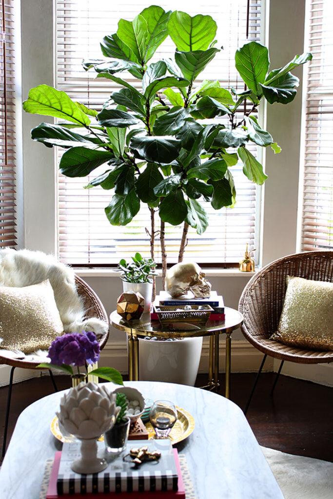 Pianta Ficus Lyrata per arredare il soggiorno