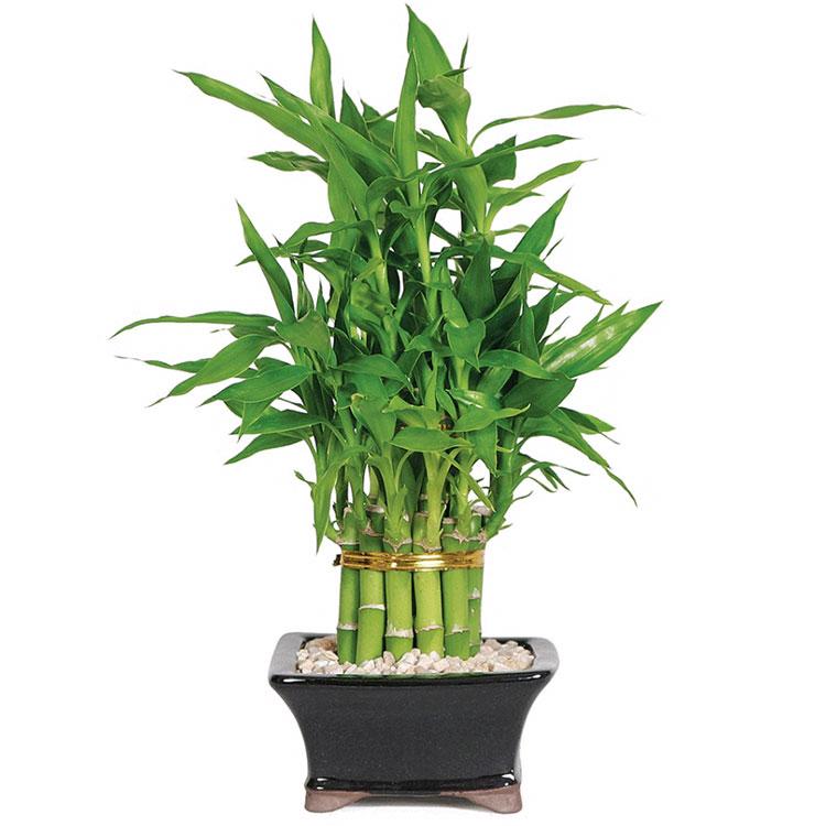 Pianta da camera da letto palma di bamboo