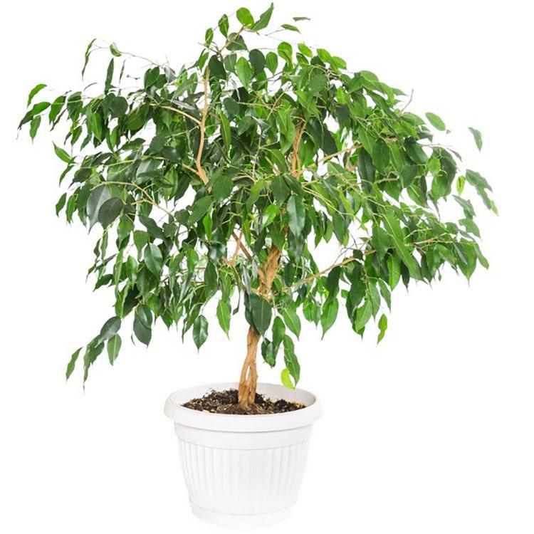 Pianta da camera da letto con poca luce Ficus
