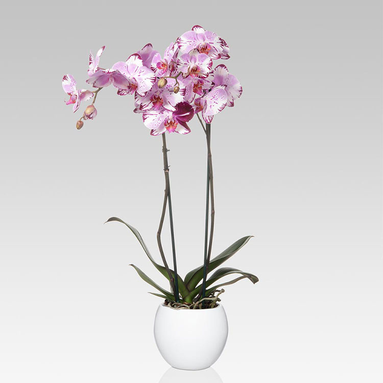 Pianta da camera da letto purificante Orchidea
